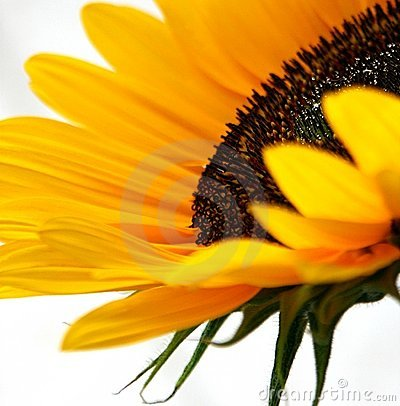 Free Sunflower Sparkles Stock Images - 170974