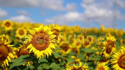 Sunflower in summer. Sunflower field in the valley in summer