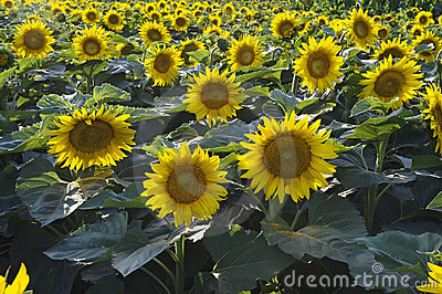 Sunflower summer landscape