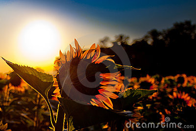 Sunflower and Sunrise