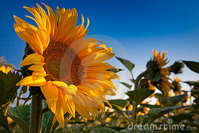 Sunflower and Sunrise