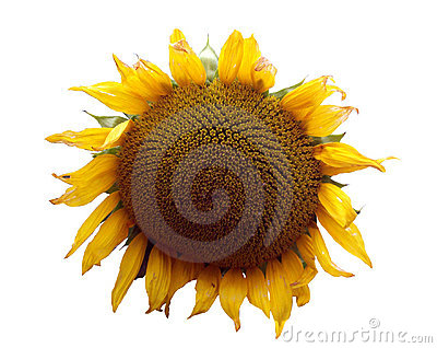 Sunflower theme 1 Stock Photo