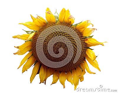 Sunflower theme 1