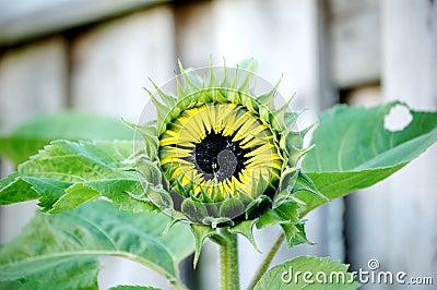 Sunflower about to Burst!