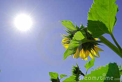 Sunflower under sunshine