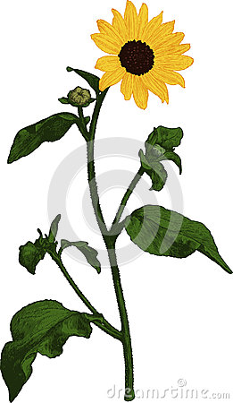 Yellow Sunflower. Vector