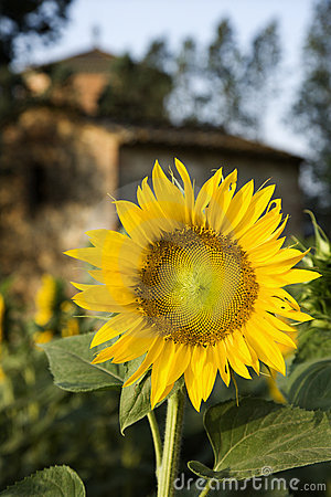 Free Sunflower With Building In Tuscany, Italy. Stock Photo - 2042030