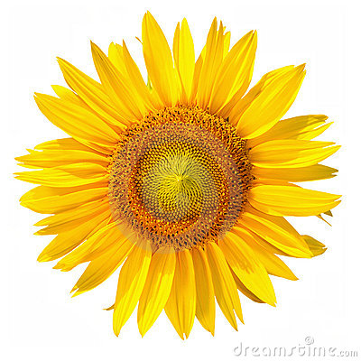Free Sunflower With Clipping Path, On White Background Stock Photos - 11349633