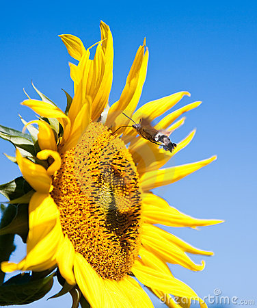 Sunflower with working bee