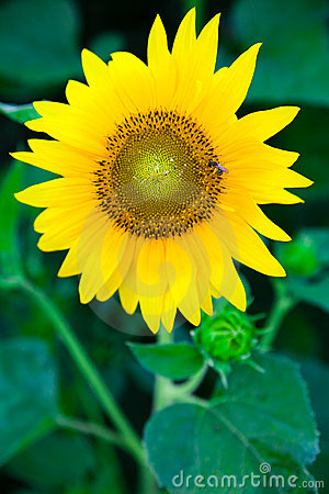 Sunflower wth bee