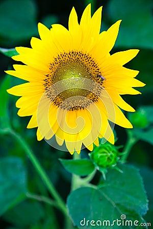 Sunflower wth bee