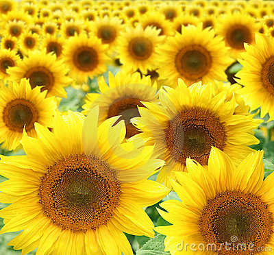Free Sunflowers Royalty Free Stock Photo - 10069505