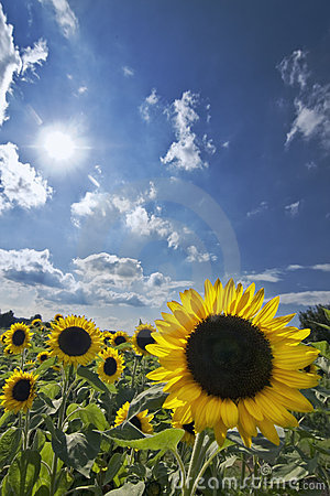 Free Sunflowers Royalty Free Stock Image - 10210246
