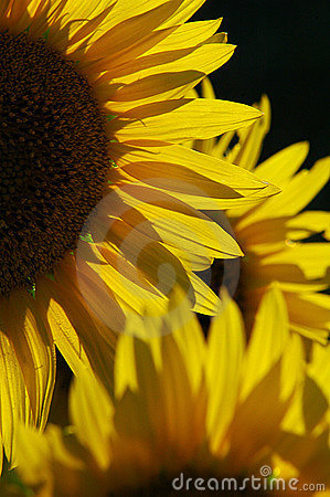 Free Sunflowers Royalty Free Stock Images - 12591969