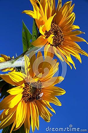 Free Sunflowers Royalty Free Stock Photo - 1601015
