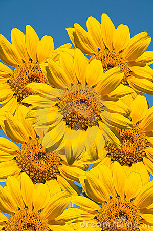 Free Sunflowers Stock Images - 17470424