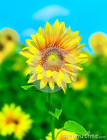 Free Sunflowers Royalty Free Stock Photo - 2557095