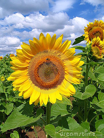 Free SUNFLOWERS Royalty Free Stock Photography - 2736867