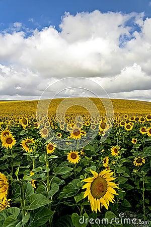 Free Sunflowers Royalty Free Stock Image - 4384866