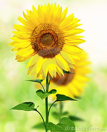 Free Sunflowers Royalty Free Stock Photos - 4804718