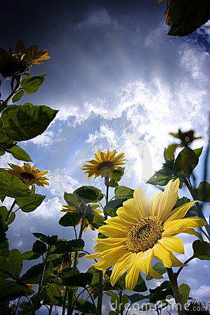Free Sunflowers Stock Image - 5975561