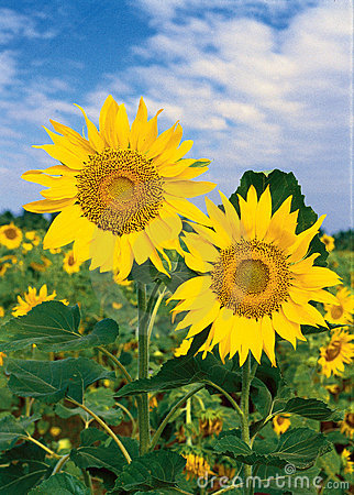 Free Sunflowers Stock Photography - 6782132