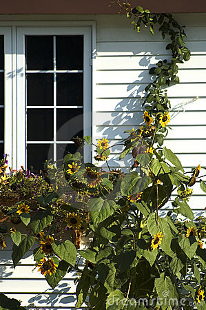 Free Sunflowers And Window Royalty Free Stock Photos - 1428328