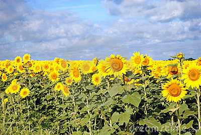 Sunflowers on a Cloudy Day
