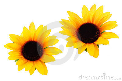 Sunflowers for cutout