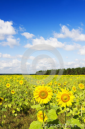 Sunflowers on a farmer field