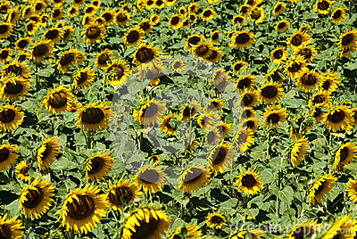 Sunflowers Field Royalty Free Stock Photography - Image: 25723257