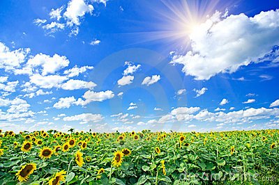 Sunflowers field by summertime.