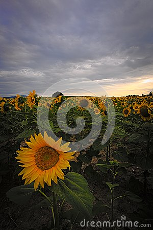 Free Sunflowers Field With A Golden Sun Stock Photography - 103351302