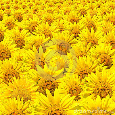 Sunflowers field XXXL