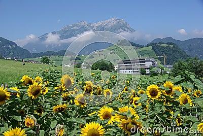 Sunflowers Growing on Alpine Meadow