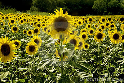 Sunflowers growing in field france