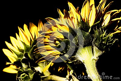 Sunflowers with high-dynamic effect