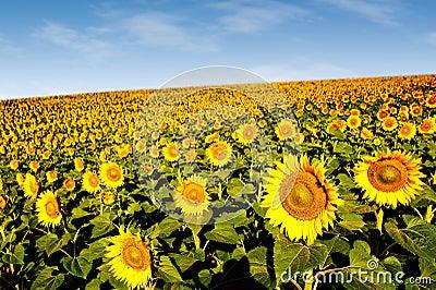 Sunflowers on a hillside