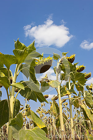 Free Sunflowers In August Royalty Free Stock Images - 33801429