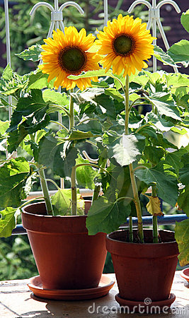 Free Sunflowers On The Balcony Stock Photo - 10731040