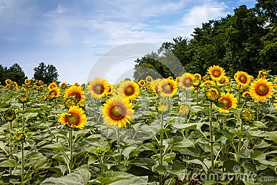 Sunflowers in Poolesville Maryland