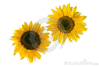 Sunflowers resembling gears, isolated on white