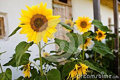 Sunflowers, selective focus on single sunflower
