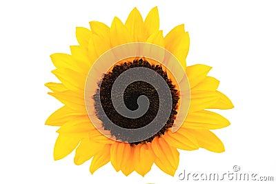 Sunflowers Single Bloom