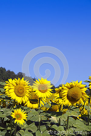 Sunflowers and sky (room for text)