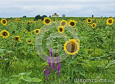 Sunflowers, St-Estephe, France