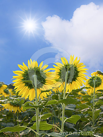 Sunflowers and sun on the sky