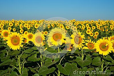 Sunflowers to the horizon.