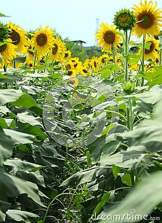 Sunflowers Way