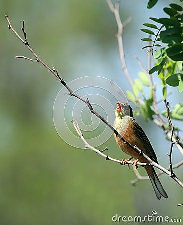 Free Sung Bird Royalty Free Stock Photography - 5341047